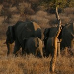 Small elephant herd, Namibia