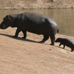Hippo and calf, Namibia