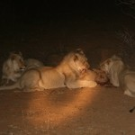 Young lions devouring kill, Namibia