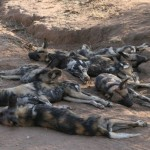 African Hunting dogs, Namibia