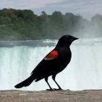 Redwing, Niagara Falls
